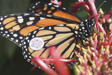 Contest to fund solutions for Monarch Butterfly Migration